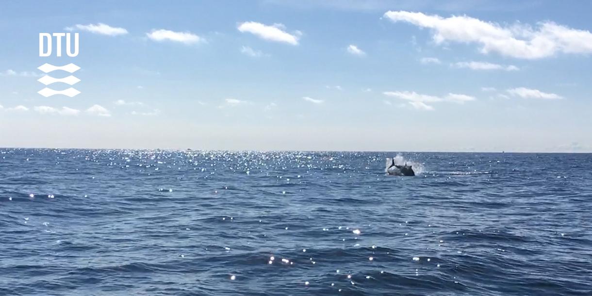 Springende blåfinnet tun. Foto: Brian MacKenzie, DTU Aqua