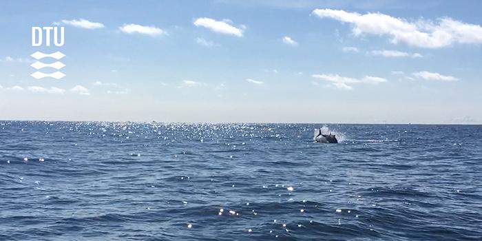 Jumping bluefin tuna from DTU Aquas 2018 tagging project. Photo: Brian MacKenzie, DTU Aqua
