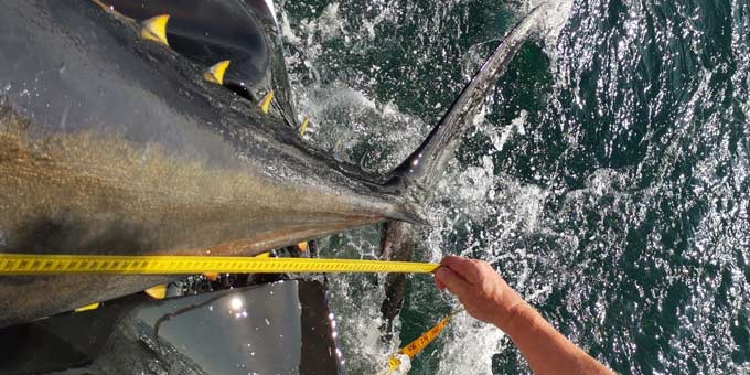 Bluefin tuna being measured by researchers from DTU Aqua. Photo: Kim Birnie-Gauvin, DTU Aqua.
