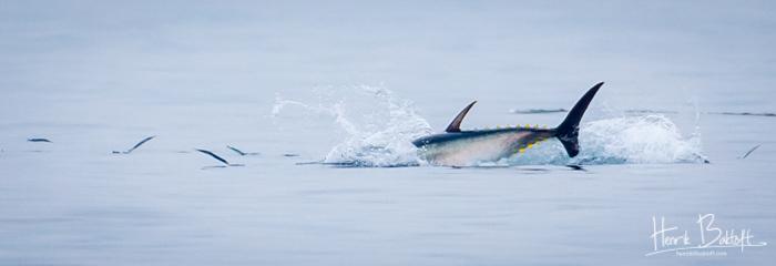 Blåfinnet tun i dansk farvand