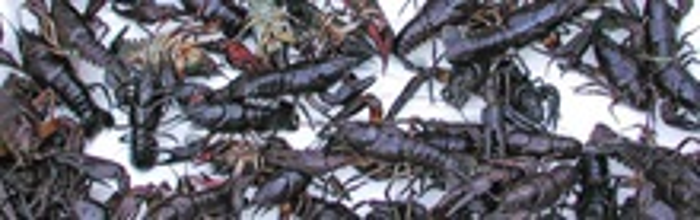 Flodkrebs - Fisktegnet giver tilskud til udsætning af flodkrebs i søer