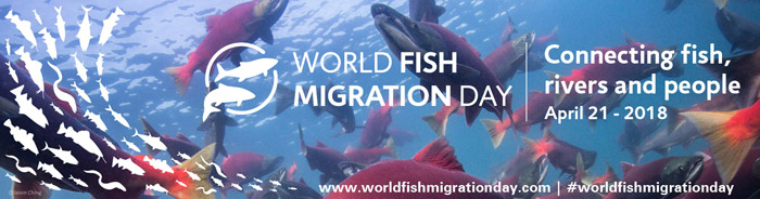 World Fish Migration Day er aktiviteter til gavn for fisk i hele verden
