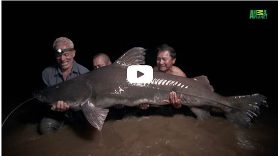 World Fish Migration Day - Video om vandrefisk