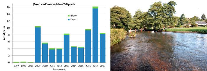 Bestanden af ørreder ved Voervadsbro siden 1997.