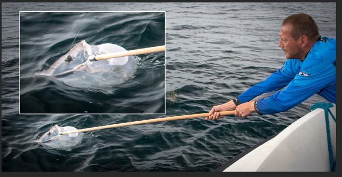 Blåfinnet tun har smidt sattelitsenderen og skipper Jan Rasmussen, på båden Fru Madsen, lader forsigtigt sattelitsenderen glide ind i nettet.