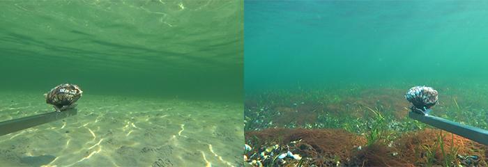 Undersøgelsen foretages med undervandskameraer på bar sandbund og på muslingerev. På billedet ses agn af sild, som skal lokke fiskene hen foran kameralinsen, samt en del af den ramme, som kameraerne sidder på. Foto: Jon C. Svendsen.