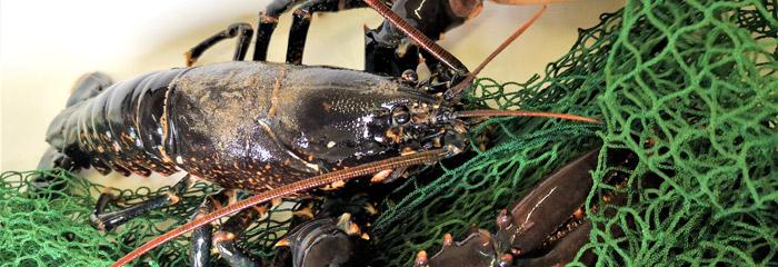 Sort hummer - undersøgelser af DTU Aqua