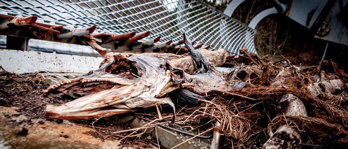 Enkelte laks bliver for afkræftede og dør mens de venter på at kunne passere, men hvor mange der efterfølgende dør, er ukendt.