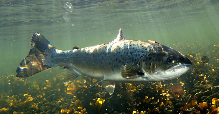 Marine migrations of sea trout - Denmark
