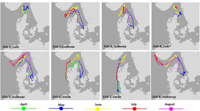 Marine migrations of sea trout