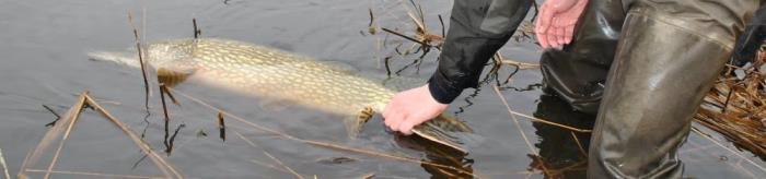 Maj måned er årets mest populære måned til geddefiskeri.