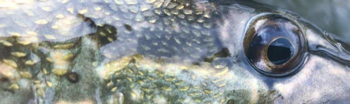 Lystfiskere fanger flere gedder i de kolde måneder