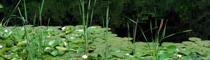 navne på vandplanter