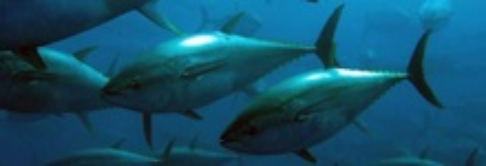 Blåfinnet tun