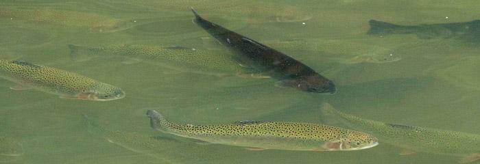 Ihn fiskesygdommen har angrebet ørreder i dambrug