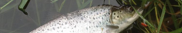 Spinnere og woblere fanger større havørreder i åen end andet endegrej.