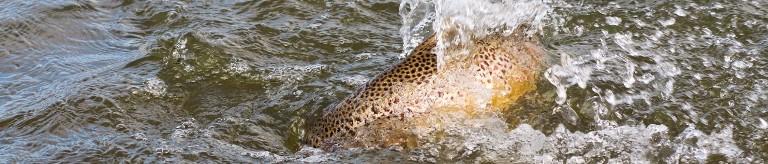 Større chance for store bækørreder når majfluerne klækker?